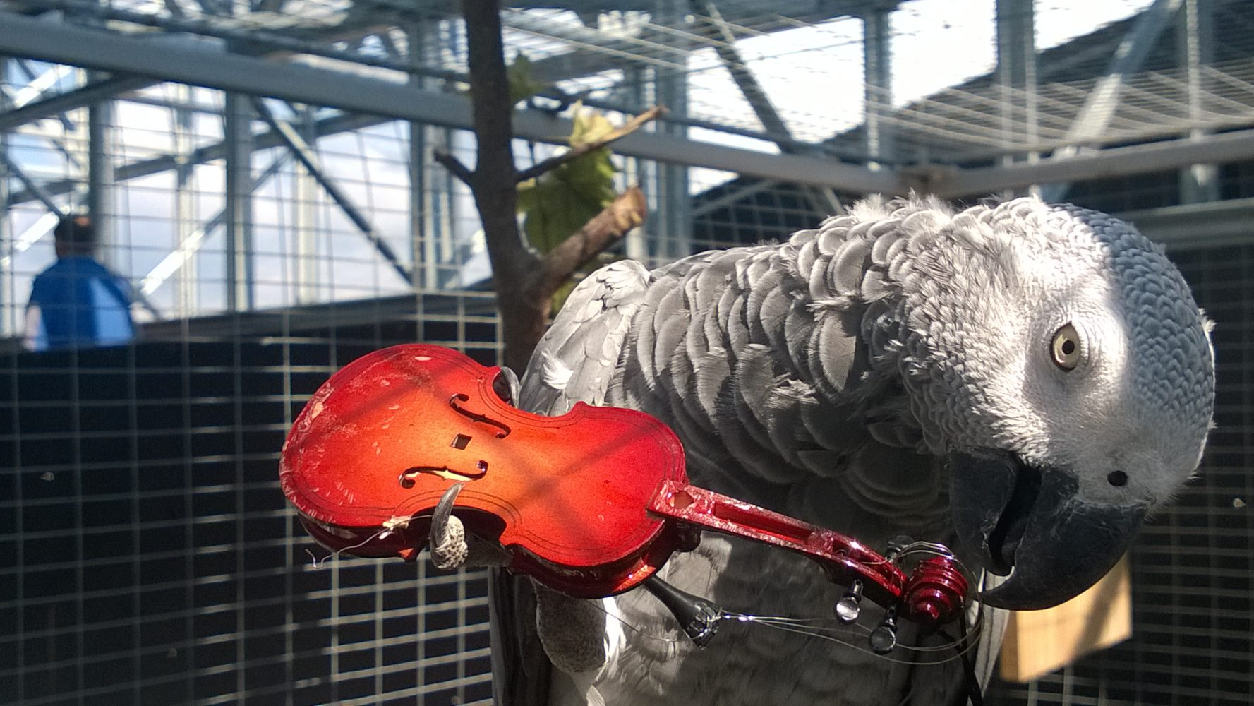 Gray parrot with Violin